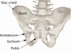 250px-pelvis_diagram